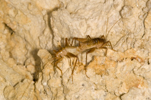 A pair of Ceuthophilus crickets. (Drexel University)