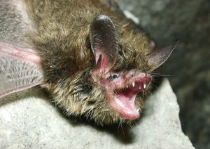 northernlongearedbatandrewkingusfws